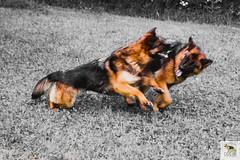 German Sherherd (Allevamento Casa Caligiani) Tags: pastoretedesco germanshepherd schäferhund gsd dog cane umbria bevagna natura
