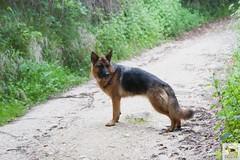 German Sherherd (Allevamento Casa Caligiani) Tags: germanshepherd pastoretedesco schäferhund gsd cane dog umbria natura bevagna