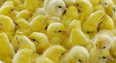 Gà thay lông trong bao lâu? Cách chăm sóc gà trong giai đoạn thay lông (dieuthanhtran63) Tags: viknews gàthaylôngbaolâu