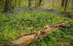 The Bluebell Wood (dmoon1) Tags: sonya6500 dunnari cavan bluebells