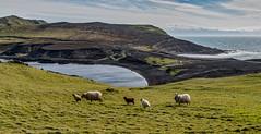 Heimaey Island Panorama - Iceland (David Hamments) Tags: westmanislands sheep panorama heimaey iceland