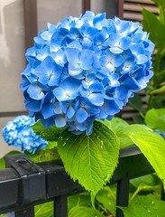 Blue hydrangea in front yard - stock photo Yokohama, Japan May 29, 2019 (DigiPub) Tags: 1152433748 gettyimages