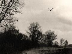 Away (justin.syndercombe) Tags: film filmisnotdead darkroom ilford art300 linhof technika70 heron hp5 buttsbury essex