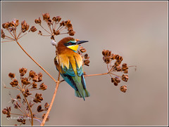 European Bee-Eater (FotoRequest) Tags: nature animals wildlife birds ngc