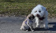 Naïs 1 an ½. Une belle rencontre au bord du lac Léman avec une petite Carlin de 10 semaines  ! (Annelise LE BIAN) Tags: morges naïs suisse carlin chien bichon bichonfrisé alittlebeauty coth coth5 sunshine damn