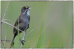 Seaside Sparrow (RKop) Tags: capemay newjersey raphaelkopanphotography d500 600mmf4evr 14xtciii nikon