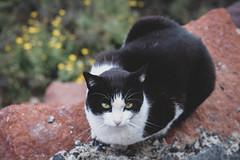 Edgy Cat (eskayfoto) Tags: canon eos 700d t5i rebel canon700d canoneos700d rebelt5i canonrebelt5i sk201903016924editlr sk201903016924 lightroom cat lanzarote feline playablanca playadelascoloradas