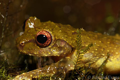 Green bush frog (Philautus bunitus) (edward.evans) Tags: sabah kinabalu mountkinabalu mountkinabalunationalpark malaysia borneo asia wildlife nature frog toad amphibian bushfrog treefrog philautus bunitus philautusbunitus greenbushfrog