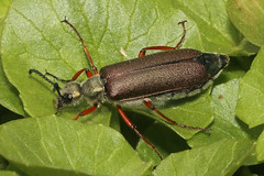 Lytta species - Hamilton County, Ohio, USA - April 11, 2019 (mango verde) Tags: lyttaspecies meloidae blisterbeetles lytta beetle yard hamiltoncounty ohio usa mangoverde