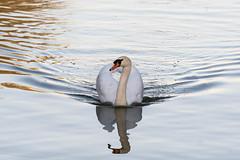 Schwan mit Spiegelung (markusgeisse) Tags: schloss nymphenburg münchen morgensonne sonnenaufgang morgen kanal spiegelung morgenhimmel schwan castle canal morning sunrise sun munich