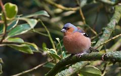 Common Chaffinch (Fringilla coelebs) (Kremlken) Tags: fringillacoelebs england parks finches birds birding birdwatching nikon500