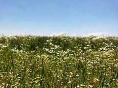 Anche la pianura padana ha il suo perchè. (SamuelFornoni) Tags: green flower camomilla campagna verde fiori campodigrano wheatfield pianura plain smartphone
