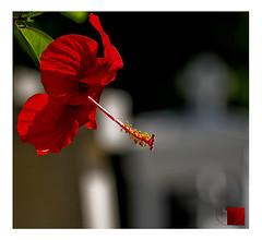 La flor triste / sad flower (Luis kBAU) Tags: hibiscus flower flor rojo colorao tristeza sadness diagonal