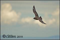 Great Skua_F7O7939 (David E Cassells) Tags: great skua stercorariusskua seabird large brown powerful chunky rathlin island sea canon1dx canonef300mmf28lisiiusm northern ireland naturephotography wildlifephotography