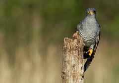 Common Cuckoo (m) (wildlifelynn) Tags: commoncuckoo cuculuscanorus adult bird migrant summervisitor wintersinafrica widespread localised populationdecline neverabundant scentralenglandmostly coastland inland rural opencountryside farmland woodlandedges copses scrubland moorland marshes reedbeds male longslenderbody yelloweyerings yelloweyes bluegreyupperparts longpointedwings wingsloweredwhenperched barsacrossbelly darkgreywhitebars yellowlegsfeet shortlegs longdarkgreytail whitespotsontail whitetailmargin greyishblackbeak lowermandibleyellowish predatory insects hairycaterpillars latespring phragmitesreedbed woodenpost pursuingfemale perchedbriefly alert watchful listening bokeh