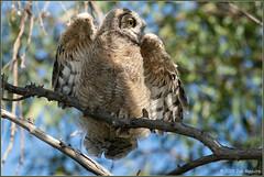 Testing the Flight Gear 2553 (maguire33@verizon.net) Tags: greathornedowl bird owl owlet wildlife