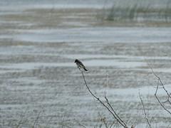 Tyrannus tyrannus (Marit Buelens) Tags: canada alberta brooks kinbrook marshdike dike marsh bird tyrannustyrannus twig water easternkingbird koningstiran königstyrann tyrantritri moeras