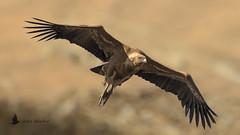 Buitre leonado (Gyps fulvus) (jsnchezyage) Tags: buitreleonado gypsfulvus ave pájaro vuelo buitre bird birding birdwatching ornithology beak feather birdinflight griffonvulture vulture