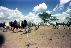 78-180 (ndpa / s. lundeen, archivist) Tags: nick dewolf color photograph photographbynickdewolf 1976 1970s film 35mm 78 reel78 africa northernafrica northeastafrica african ethiopia ethiopian sky clouds landscape terrain livestock animals cattle cows steer tree horns herd people localpeople herder