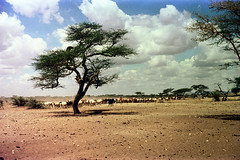 78-177 (ndpa / s. lundeen, archivist) Tags: nick dewolf color photograph photographbynickdewolf 1976 1970s film 35mm 78 reel78 africa northernafrica northeastafrica african ethiopia ethiopian sky clouds landscape terrain livestock animals cattle cows steer tree herd people localpeople herder herders