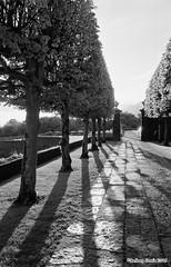Sunset & Shadows (Anthony Cronin) Tags: anthonycronin ilford xp2 blackwhite analogsimpliciusapug© nikonfe 24mmf28d epsonpro750 darkorangefilter nophotoshop heywood garden sunset trees shadow light contrast negativescan landscape ballinakill siredwinlutyens romance