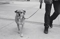 "Damn ""puparazzi"" (Xsbmrnr (Please read profile before ""following"") Tags: blackandwhite bandw downtown dogs dog 35mm 35mmfilm film filmphotography hamilton hamiltonontario kodak street streetphotography urban urbanphotography yashica yashicaelectro yashicaelectro35 tmax tmax400"
