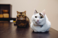 2019.5.30 : 13/365 (Nazra Z.) Tags: munchkin cats animal pets home indoors sitting okayama japan raw 2019 vscofilm