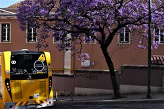 duo (*F~) Tags: lisboa portugal purple splendor tree jacarandá yellow bus walking walkers perception light shadows urban poetry contrast complement