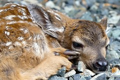 This Little Fawn.. (aprilamb) Tags: