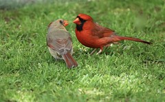 Having A Discussion (Diane Marshman) Tags: northerncardinal adult male female mature bright red feathers black face mask tan brown body head crest medium size songbird pair spring birding pa pennsylvania nature wildlife cardinal birds