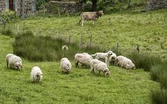 Casi camuflado (Guillermo Relaño) Tags: guillermorelaño ovejas perro dog sony a7 a7m3 a7iii alpha alfa ilce cantabria españa spain paisaje
