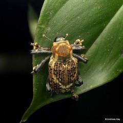 Weevil, Cratosomus sp., Curculionidae (Ecuador Megadiverso) Tags: andreaskay beetle coleoptera conoderinae cratosomussp curculionidae ecuador sumakkawsayinsitu