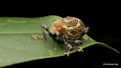 Weevil, Cratosomus sp., Curculionidae (Ecuador Megadiverso) Tags: andreaskay beetle coleoptera conoderinae cratosomussp curculionidae ecuador sumakkawsayinsitu weevil
