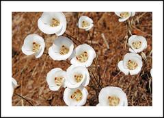 Wofford Heights Wildflowers (AussieinUSA) Tags: california wildflowers 2019 2019wildflowers calochortusvenustus butterflymariposalily kerncounty woffordheights sr155 evansrd