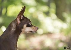 Le profil de Nestor (Philippe Bélaz) Tags: nestor ratierdeprague balades beige bokeh brun chiens chocolat forêts profil promenade vert