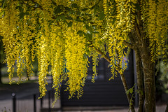 Yellow tree .. (Julie Greg) Tags: yellow tree nature nautre colours canon park spring spring2019