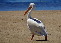 American White Pelican Out For a Stroll (Pelecanus erythrorhynchos) (Susan Roehl) Tags: •jndingdarlingnationalwildliferefuge sanibelisland florida usa americanwhitepelican pelecanuserythrorhynchos oneofthelargestbirds innorthamerica 9footwingspan occursfarinland feedscooperatively shallowlakes doesnotdivefromtheair aquaticsoaringbird orderpelecaniformes interiornorthamerica movingsouthandtothecoasts centralamericaandsouthamerica inwinter swimmingonsurface dippingbillinwater scoopingupfish intopouch roughfish crayfish salamanders sueroehl panasonic lumixdmcgh4 100400mmlens handheld noon sandbar coth5 ngc