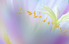 Internal Beauty of a Flower (pasquale di marzo) Tags: flower fiore interno colore esterno velvet macro maggio 2019