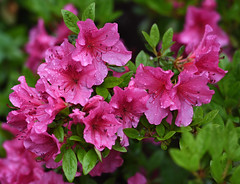 Saturated by the Rain. (WilliamND4) Tags: azaleas flowers blossoms pink rainy wet plant