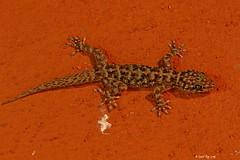 Le gecko attitré à notre habitation / the gecko assigned to our home (Laval Roy off until 07/08/2019) Tags: mexique mexico ranchoprimavera eltuito jalisco lavalroy gecko reptiles gekkonidés