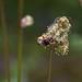 Kleiner Wiesenknopf (Sanguisorba minor)