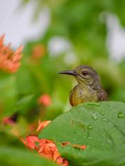 Sunbird in ixora plant (Robert-Ang) Tags: sunbird ixora chinesegarden singapore bird wildlife animal nature