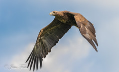 White tailed fish eagle 4 (Jims Fotos) Tags: eagle whitetailedfisheagle canon birdorprey raptor eagleheigts