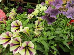 IMG_0050 (belight7) Tags: garden centre berkshire uk england flowers plant shop