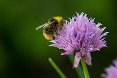 Bumblebee on chive. (Azariel01) Tags: 2019 belgique belgium brussels bruxelles blooming fleur flower floraison ciboulette chive bourdon bumblebee