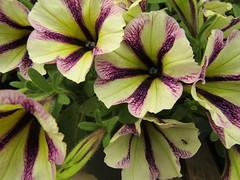 IMG_0052 (belight7) Tags: garden centre flowers uk england nature shop berkshire
