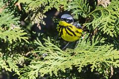 A Magnolia Visit (A.Joseph Images) Tags: magnoliawarbler warbler bird songbird oiseux outdoor nature nikkor200500mmedf56vr nikon nikkor wildlife yellow green grey black tree montreal quebec canada