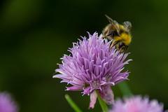 Bourdon sur ciboulette. (Azariel01) Tags: 2019 belgique belgium brussels bruxelles blooming fleur flower floraison ciboulette chive bourdon bumblebee