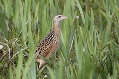 Corncrake - Crex crex (Chris B@rlow) Tags: croncrake crake crexcrex bird birds nature scotland northuist rspb rspbreserves balranald balranaldrspb canon7dmarkii sigma150600sport westernisles outerhebrides