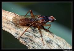 Norellia spinipes (cquintin) Tags: arthropoda diptera scathophagidae norellia spinipes macroinsectes